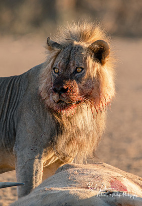 Lion at Kill-07.jpg