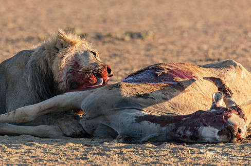 Lion at Kill-12.jpg