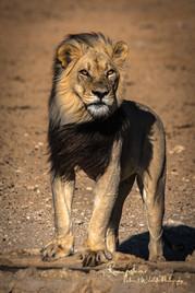lion1 (1 von 1).jpg