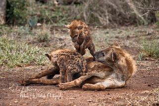 Hyena-1.jpg