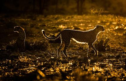 Cheetah (1 von 1).jpg