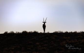 Oryx-Silhouette-01.jpg