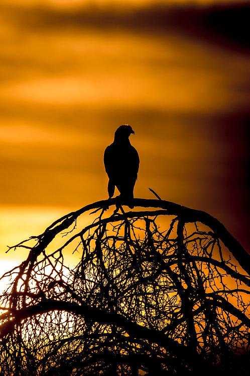 Falke bei Sonnenuntergang