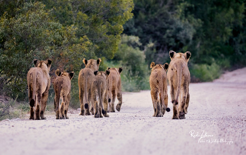 Lions-07-small.jpg