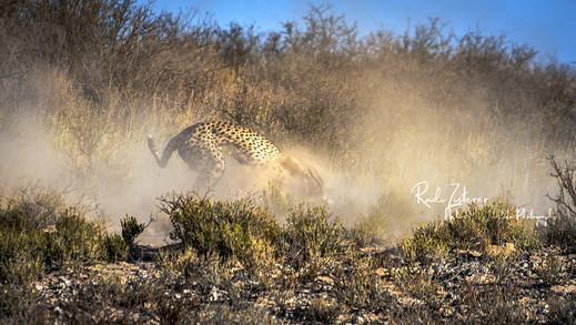 Cheetah_Kill-3.jpg
