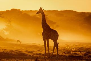 Giraffe-1 (1 von 1).jpg
