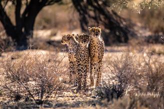 Cheetah-2 (1 von 1).jpg