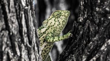 chameleon-1.jpg
