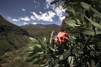 Drakensberge-Protea-2.jpg