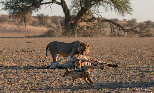 Lion at Kill-09.jpg