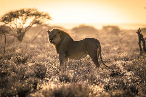 lion5-etosha (1 von 1).jpg