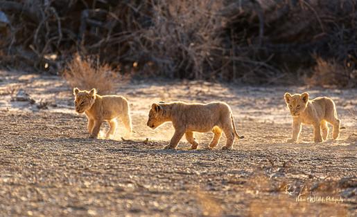 Lion-Family-new9.jpg