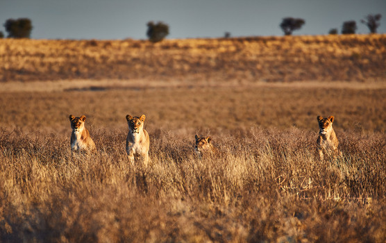 Lions-1-Wiederhergestellt.jpg