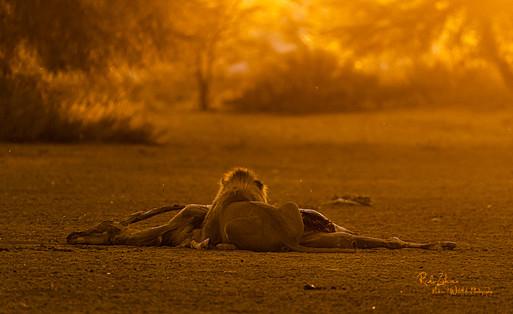 Lion Kill-sunrise-08.jpg