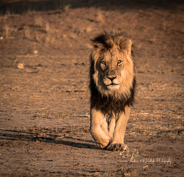 Lion-9.jpg