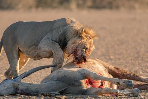 Lion at Kill-05.jpg