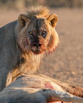 Lion at Kill-08.jpg