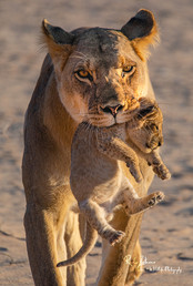 Lioness-with-Cub-New12.jpg