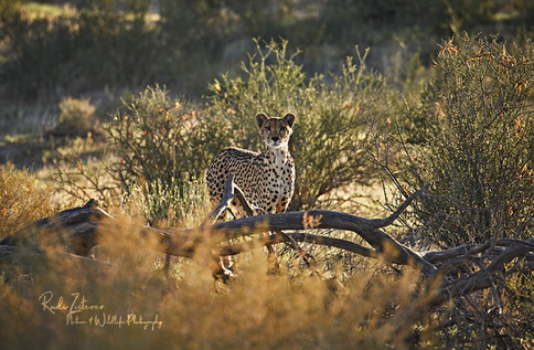 Cheetah-Lady-1.jpg