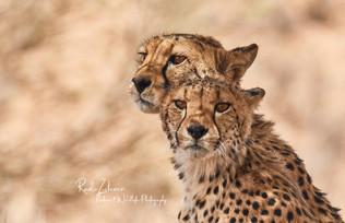 Cheetahs-1.jpg