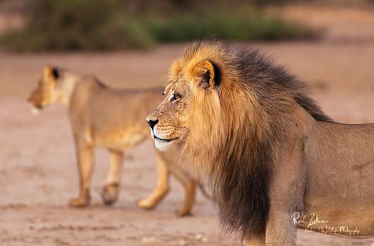 lion-03.jpg