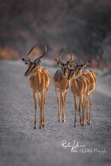 impalas (1 von 1).jpg
