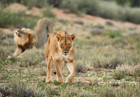 Lioness-Lion-1.jpg