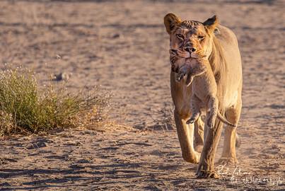 Lion-Mum-02A.jpg