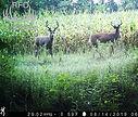 deer duo.jpg