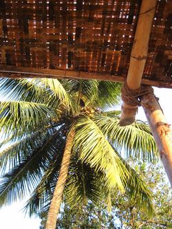Goa Palm tree