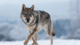 Capturing the Story of the New Wolves, New Packs, New Families
