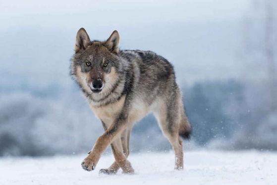 wolf_vlada_cech.jpg