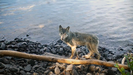 Documentary film captures successful wolf introduction efforts on Lake Superior's Isle Royale
