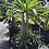 Thumbnail: Madagascar Palm