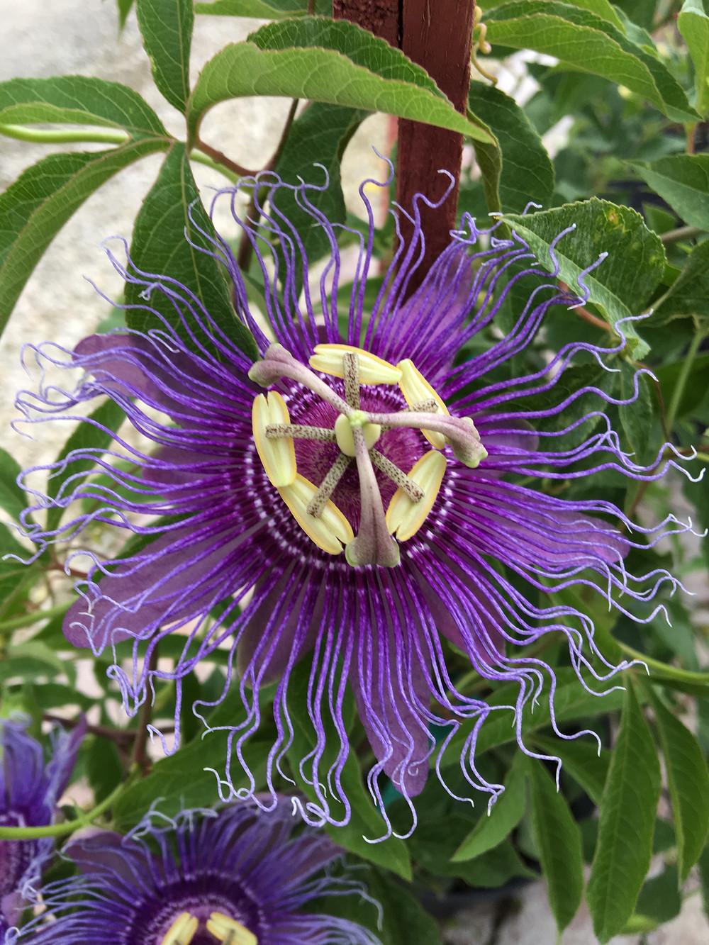 Passion Flower Maypop Vine