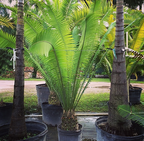 Dioon Palm