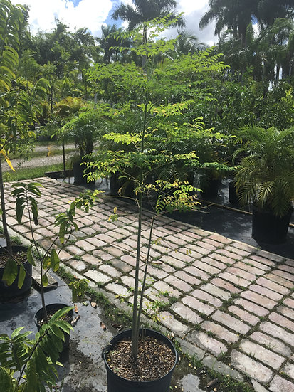 Moringa Tree Lighthouse Garden Center Miami