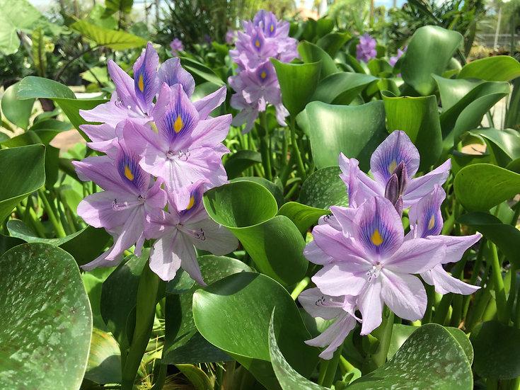 Water Hyacinth Lighthouse Garden Center Miami