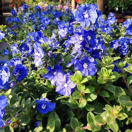 Blue Daze Lighthouse Garden Center Miami