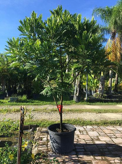 Japanese Tree Fern Lighthouse Garden Center Miami