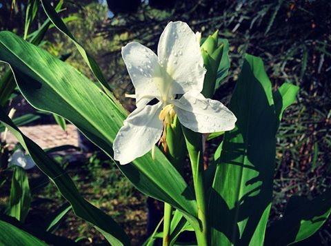 White Butterfly Ginger Lighthouse Garden Center Miami