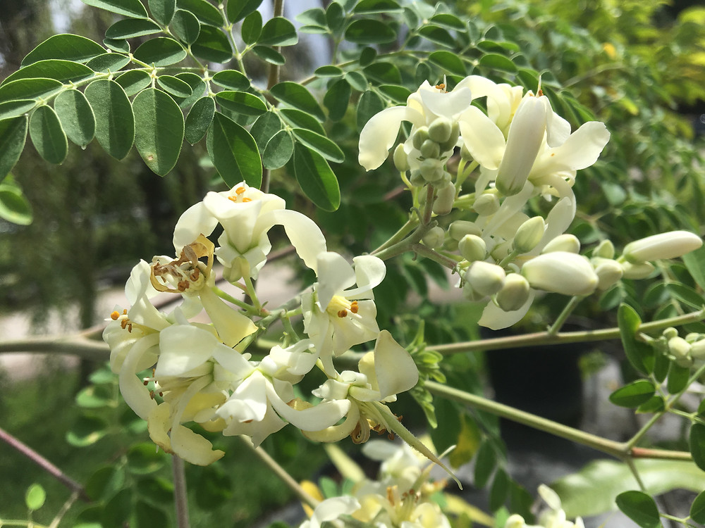 Moringa Fruit Tree