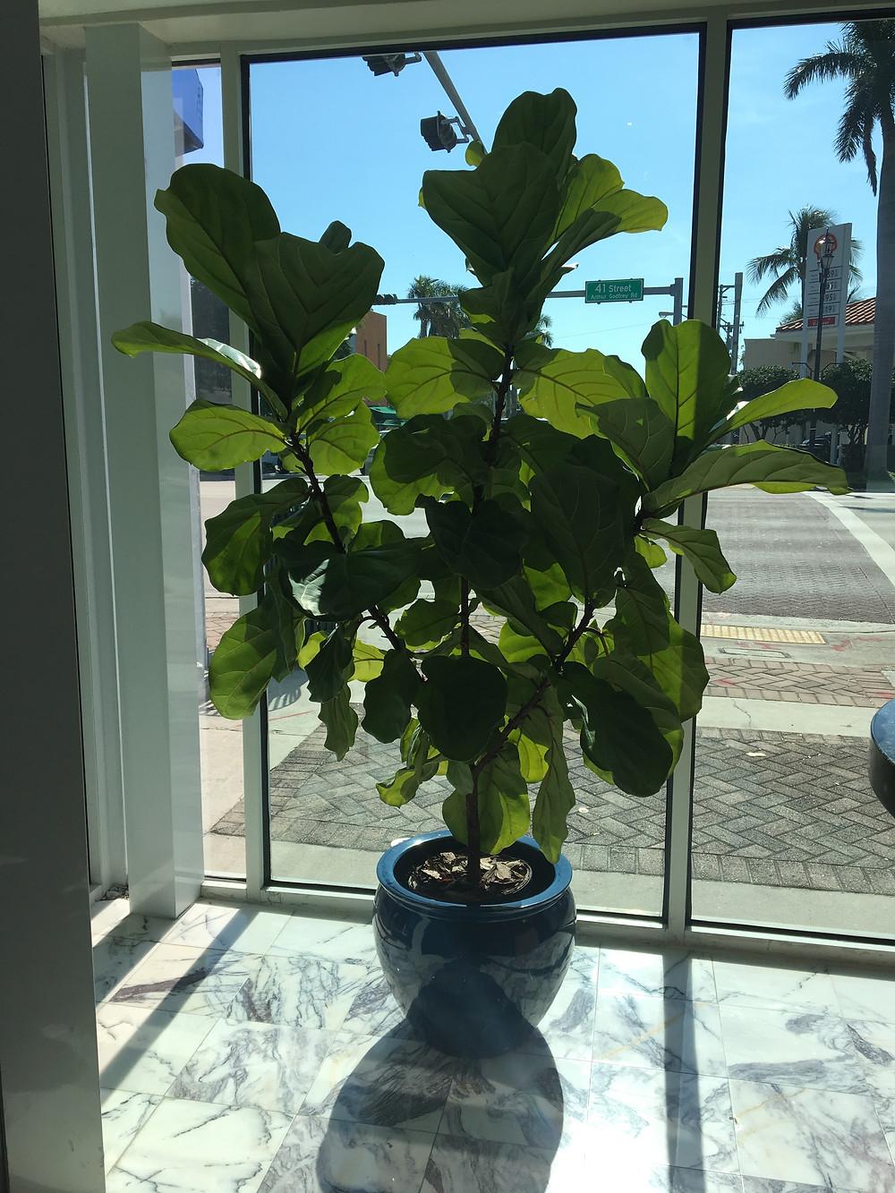 Ficus Lyrata Ocean Bank Miami Beach