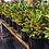 Thumbnail: Crotons