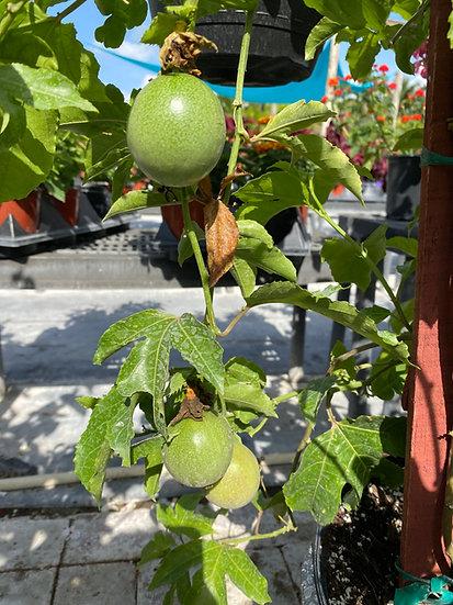 Passionfruit Vine Lighthouse Garden Center Miami