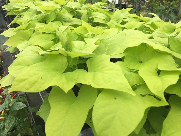 Ornamental Sweet Potato Plant