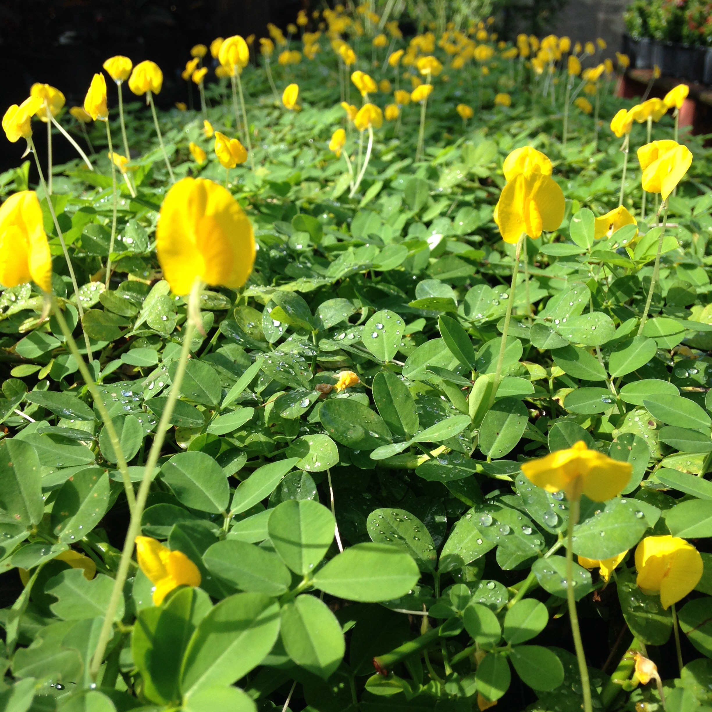 Alternatives To Grass Our Top 10 Ground Covers Lighthouse Garden