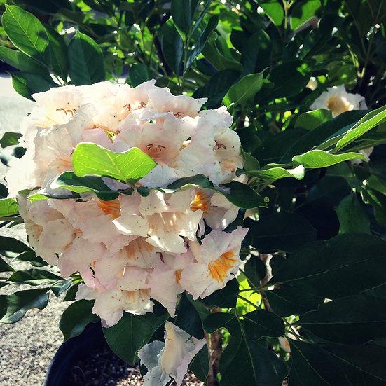 Dwarf Tree Jasmine