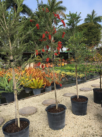 Weeping Bottlebrush Tree Lighthouse Garden Center Miami
