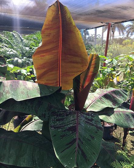 Red Banana Tree